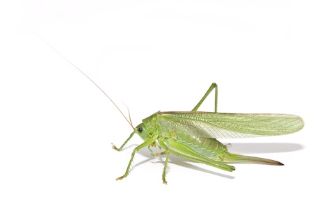 Grasshopper cleaning its leg isolated on white