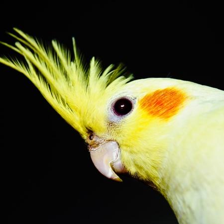 Yellow cockatiel head over dark background, across Stock Photo