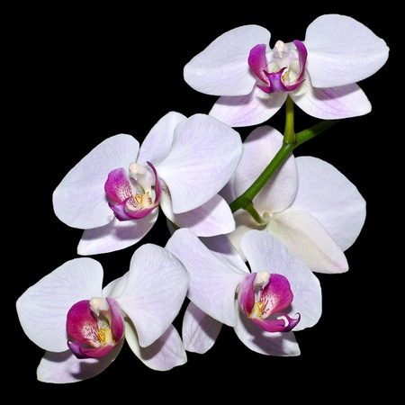 Five pink orchids on a branch isolated on black Stock Photo