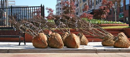 Trees with roots balled and burlaped to be planted in city park