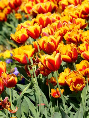 A bed of red and yellow tulips photo