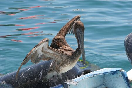 poised: Old pelican poised for flight from boat