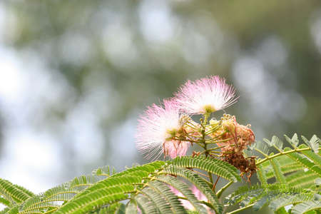 Feathery Pink blossom of a mimosa tree Stock Photo - 1229181