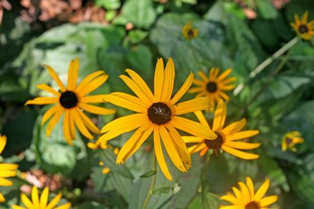 brown  eyed: Brown eyed susans blooming in a forest garden
