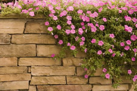 green wall: A spread of purple flowers on a rock wall Stock Photo