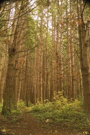 A clearing in a dense pine forest