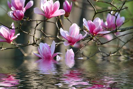 Beautiful spring blooms on a japanese magnolia photo