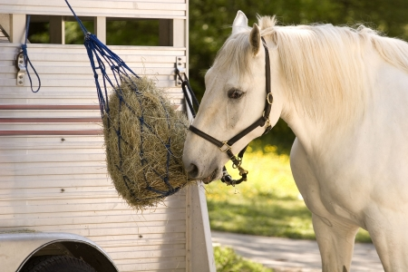 A white horse eating of of a feedbag hanging from a trailer