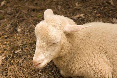 Un giovane di pecora in una penna addormentato Archivio Fotografico - 3229061