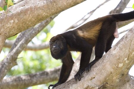 howler: A male howler monkey climbing down a tree limb in search of food