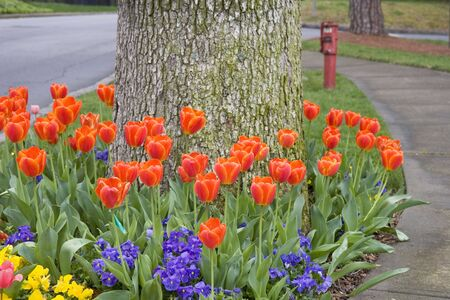Orange tulips and other flowers in a garden around a tree photo