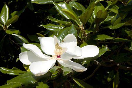 A beautiful magnolia tree in full blossom photo