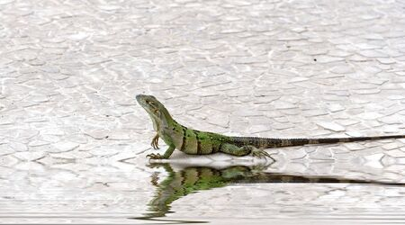 A green iguana crawling along the edge of a pool photo
