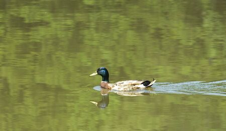 A male mallard swimming across a dark green lake photo