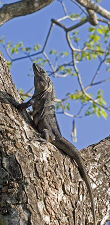 An iguana climbing a tree and looking up photo