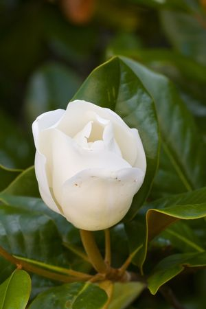 A fresh white magnolia bloom just opening up photo