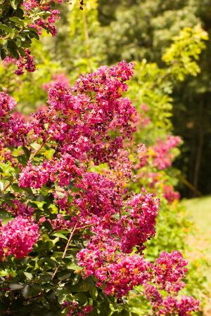 Many Purple Crepe Myrtle Blossoms on trees photo