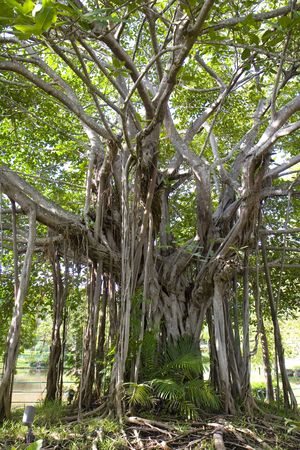 A banyan tree in the tropics with roots above ground Stockfoto