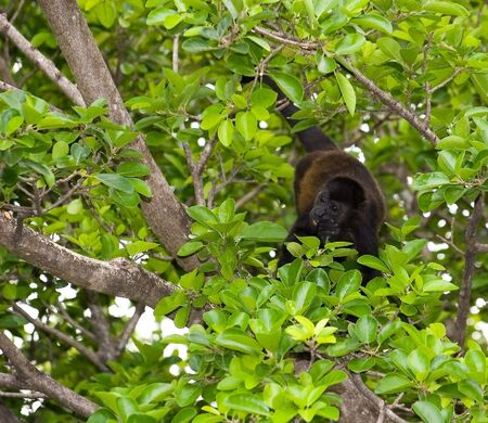 howler: A howler monkey eating leaves in a tree