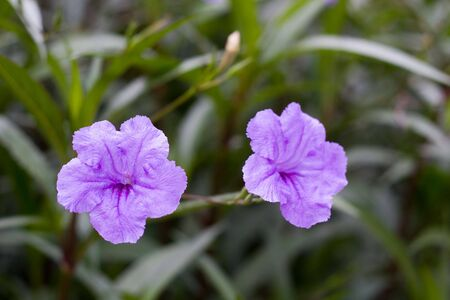 ground cover: Two purple flowers in a green ground cover