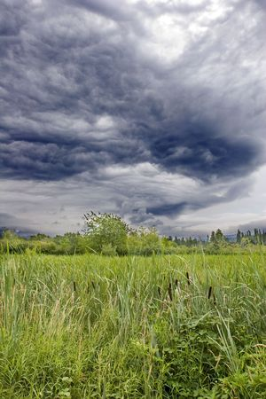 Cattails in the wetlands under a dark and cloudy sky photo