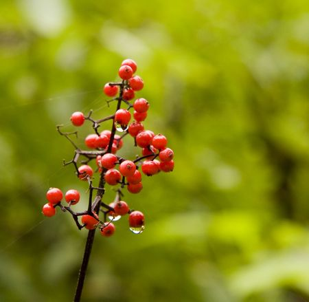 Holly or Pyracantha berries wet with dew on a green background photo