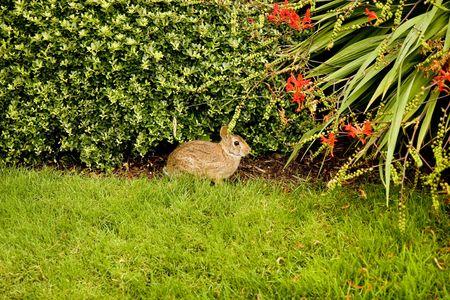 Een wilde konijnen op de rand van een gazon door een hef boom Stockfoto