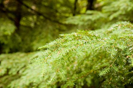 evergreen forest: A bright green fir limb in the evergreen forest Stock Photo