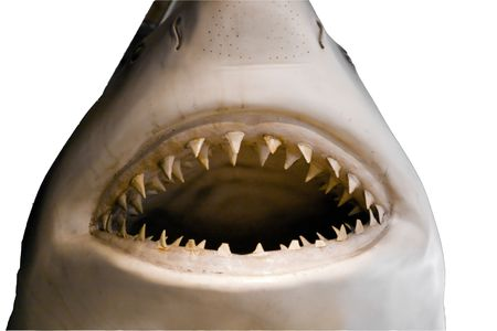 Mouth and teeth of a great white shark