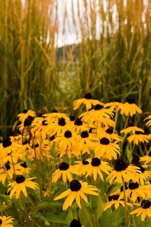 brown  eyed: A garden of brown eyed susans by sea oats on the shore Stock Photo