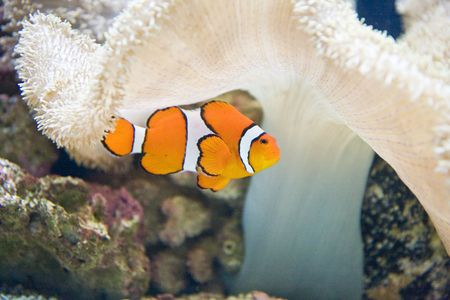 An orange and white clown fish by white coral
