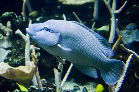 aquarium hobby: A large blue tropical fish in an aquarium Stock Photo