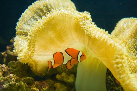 An orange and white clown fish by yellow coral