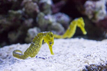 Two yellow seahorses at the bottom of an aquarium