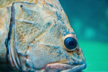 Closeup of a large tropical fish in a tank Stock Photo
