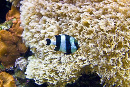aquarium hobby: A black and silver striped tropical fish swimming past white coral in an aquarium
