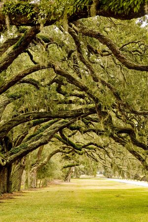 A grassy park overhanging with old southern oaks and spanish moss Stock Photo