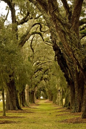 Massive old southern oak trees draped with spanish moss