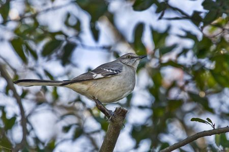mockingbird: A mockingbird on the branch of a tree