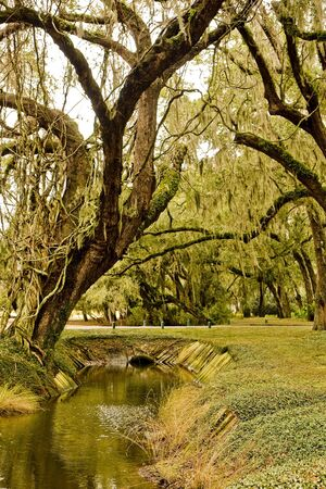 An old oak tree with spanish moss over a stream in a marsh