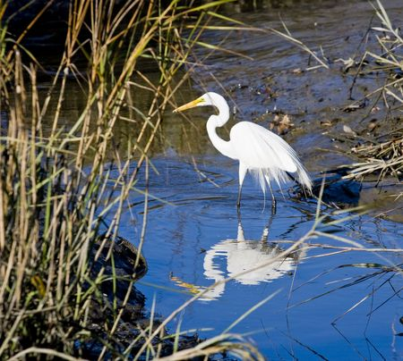 crane fly: A white egret in a wetlands marsh