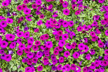 緑の葉と紫の花の密集した、緑豊かなグランド カバー 写真素材 - 5425019