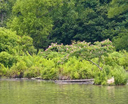 A blooming mimosa tree on the shore of a peaceful lake photo