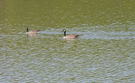 Two geese swimming across a lake with one goose looking at camera