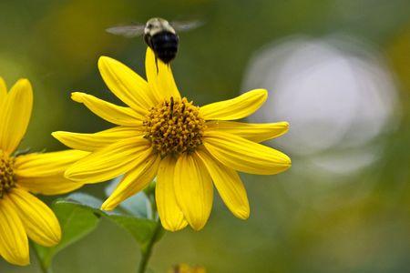 A bee pollinating a yellow wildflower Фото со стока - 6111044