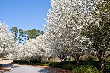 Blooming Bradford pear trees in the spring along a curve in a rural road