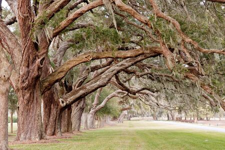 southern: Rows of ancient oaks with limbs overhanging a grassy lane
