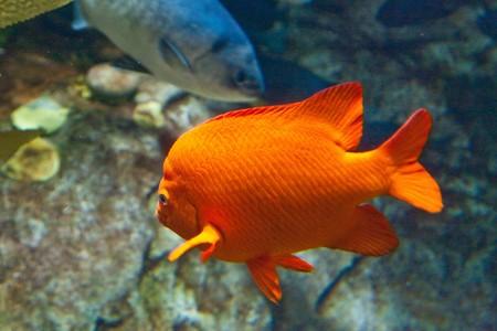 An orange fish in a tropical aquarium Stock Photo