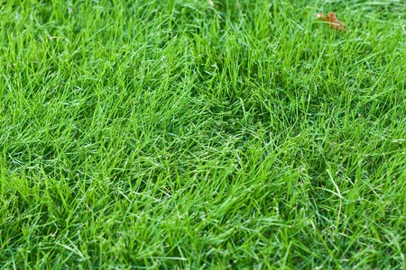 fescue: A new lawn with young green fescue grass Stock Photo