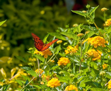 A beautiful butterfly on yellow flowers in a garden photo